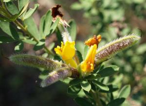 Rauhhaariger Geissklee Bluete gelb Chamaecytisus hirsutus 04