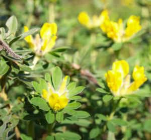 Rauhhaariger Geissklee Bluete gelb Chamaecytisus hirsutus 06