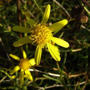 Raukenblaettriges Kreuzkraut Senecio erucifolius 06
