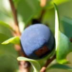 Bild: Rauschbeere Strauch Frucht blau Vaccinium uliginosum