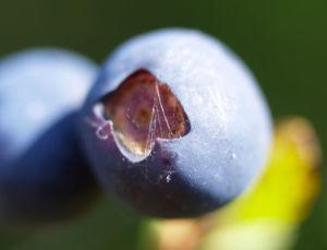 Rauschbeere Strauch Frucht blau Vaccinium uligionosum 04