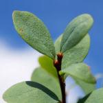 Rauschbeere Strauch Frucht blau Vaccinium uligionosum 05