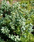 Rauschbeere Strauch Frucht blau Vaccinium uligionosum 08