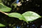 Razzle Berry Blatt gruen Loropetalum chinense 06