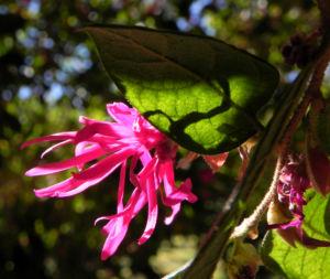 Razzle Berry Bluete pink Loropetalum chinense 15