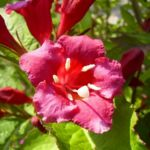 Reichbluetige Weigelie Bluete Weigelia floribunda 02