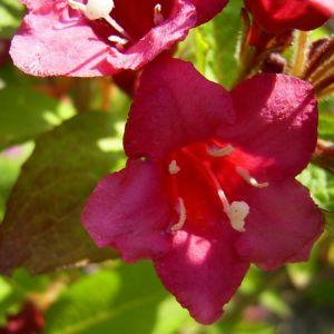 Reichbluetige Weigelie Bluete Weigelia floribunda 03