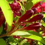 Reichbluetige Weigelie Bluete Weigelia floribunda 04