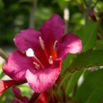 Bild: Reichblütige Weigelie Blüte rot Weigelia floribunda