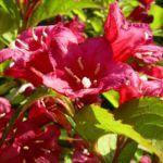 Reichbluetige Weigelie Bluete Weigelia floribunda 06