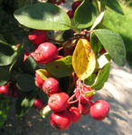Reichbluetige Zwergmispel Frucht rot Cotoneaster multiflorus 01