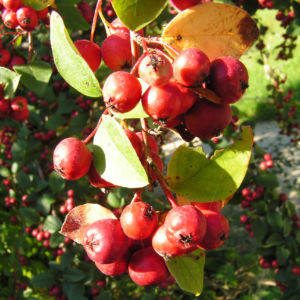 Reichbluetige Zwergmispel Frucht rot Cotoneaster multiflorus 03