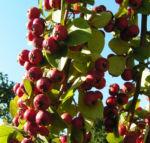Reichbluetige Zwergmispel Frucht rot Cotoneaster multiflorus 04