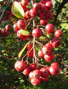 Reichbluetige Zwergmispel Frucht rot Cotoneaster multiflorus 05