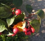 Bild: Reichblütige Zwergmispel Frucht rot Cotoneaster multiflorus