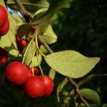 Bild: Reichblütige Zwergmispel Frucht rot Blatt grün Cotoneaster multiflorus