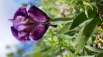 Reichenbachs Schwertlilie Bluete violett Iris Reichenbachii 02