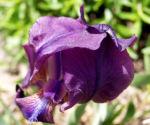 Reichenbachs Schwertlilie Bluete violett Iris Reichenbachii 03