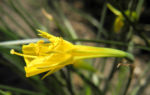 Reifrock Narzisse Bluete gelb Narcissus bulbocodium 07