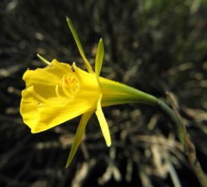Reifrock Narzisse Bluete gelb Narcissus bulbocodium 08