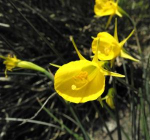 Reifrock-Narzisse Blüte gelb Narcissus bulbocodium