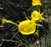 Zurück zum kompletten Bilderset Reifrock-Narzisse Blüte gelb Narcissus bulbocodium