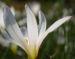 Zurück zum kompletten Bilderset Reinweiße Zephirblume Blüte weiß Zephyranthes candida