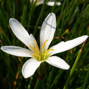 Reinweisse Zephirblume Bluete weiss Zephyranthes candida 06