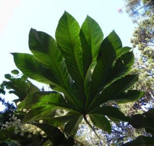 Reispapierbaum Blatt gruen Tetrapanx papyriferum 11