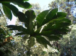 Reispapierbaum Blatt gruen Tetrapanx papyriferum 12