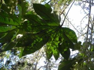 Reispapierbaum Blatt gruen Tetrapanx papyriferum 13