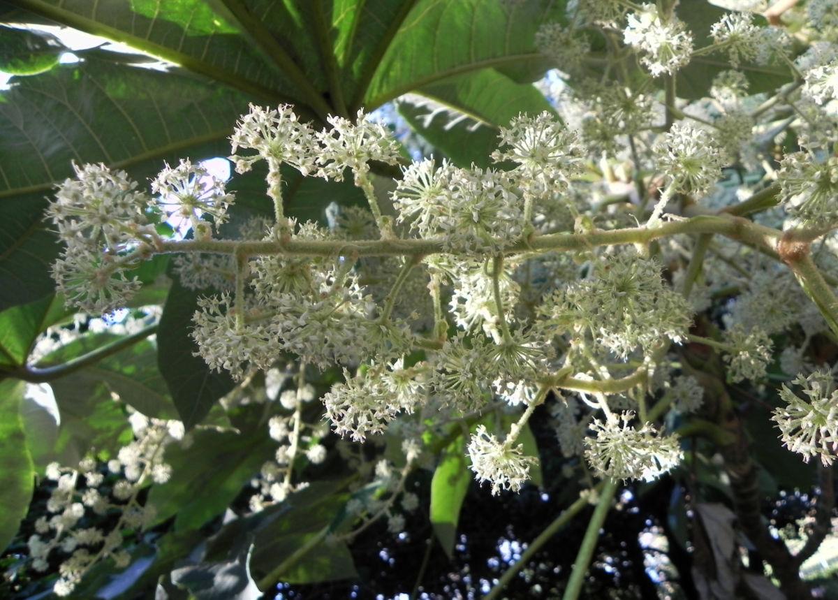 Reispapierbaum Bluete weiss Tetrapanx papyriferum