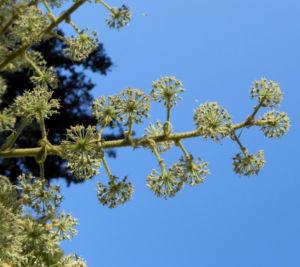Reispapierbaum Bluete weiss Tetrapanx papyriferum 09
