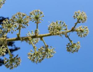 Reispapierbaum Bluete weiss Tetrapanx papyriferum 10