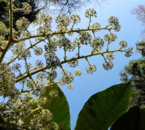 Reispapierbaum Bluete weiss Tetrapanx papyriferum 13