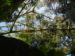 Zurück zum kompletten Bilderset Reispapierbaum Blüte weiß Tetrapanax papyrifer