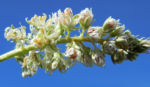 Bild: Resede Weißer Wau Blüte weiß Reseda alba