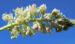 Zurück zum kompletten Bilderset Resede Weißer Wau Blüte weiß Reseda alba