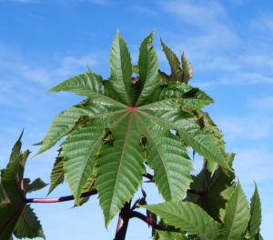 Rhizinus Blatt grün rot Ricinus communis