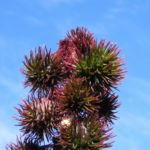 Rhizinus Blatt grün rot Ricinus communis 03