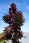 Bild:  Rhizinus Blatt grün rot Ricinus communis