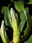 Rhododendron Blatt gruen Rhododendron 01