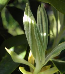 Rhododendron Blatt gruen Rhododendron 02