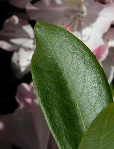 Rhododendron Blatt gruen Rhododendron 04