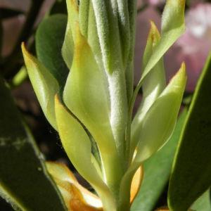 Rhododendron Blatt gruen Rhododendron 06