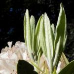 Rhododendron Blatt gruen Rhododendron 07