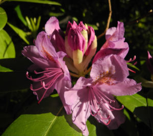 Rhododendron Bluete pink Rhododendron 01