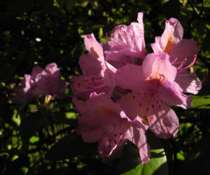 Rhododendron Bluete pink Rhododendron 02