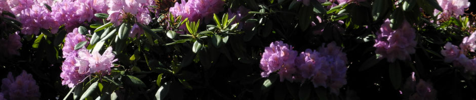 rhododendron-bluete-pink-rhododendron