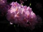 Bild: Rhododendron Blüte pink Rhododendron